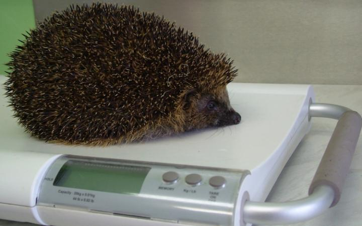 Who should pay the treatment costs for sick hedgehogs?