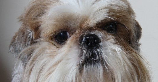 A Shih Tzu Who Had Over Bulgy Eyes