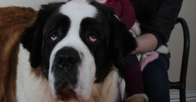 Missy is a two year old St Bernard