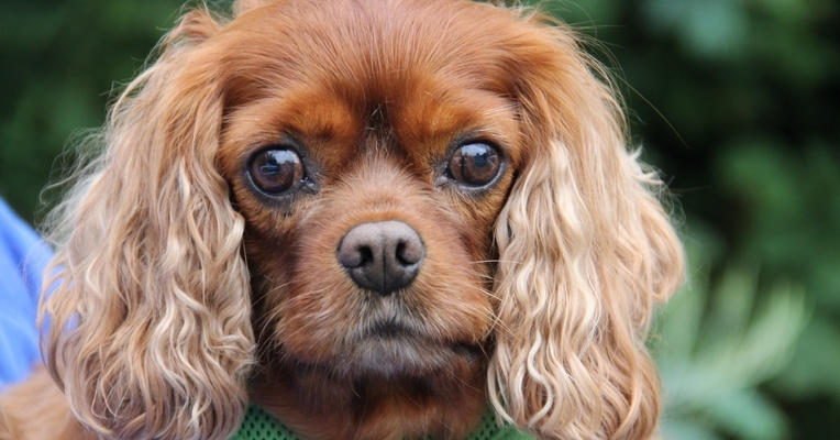 Lulu the 4 year old King Charles Spaniel with bladder stones