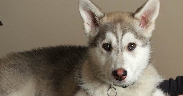 Anuk is a five month old cross bred Husky