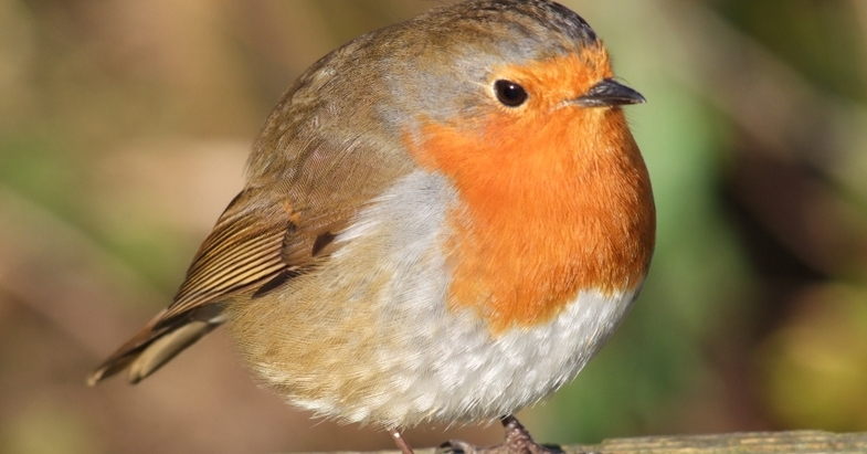 Robbie the robin visits every day