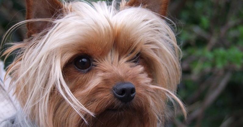 Zolza the Yorkshire Terrier had Haemorrhagic Gastroenteritis