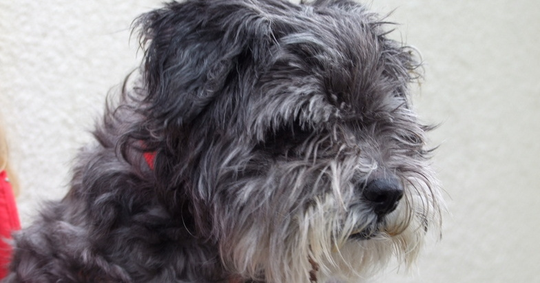 Winston is a nineteen year old Tibetan Terrier
