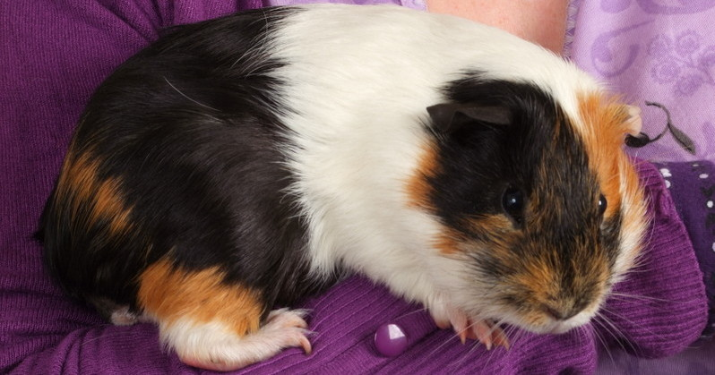 Nubby the 7 month old Guinea Pig