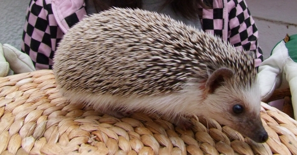 Fuzzypeg is a 6 month old African Pygmy Hedgehog