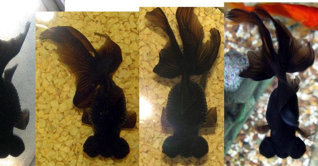 Wishy-Fishy had developed a swollen bloated abdomen