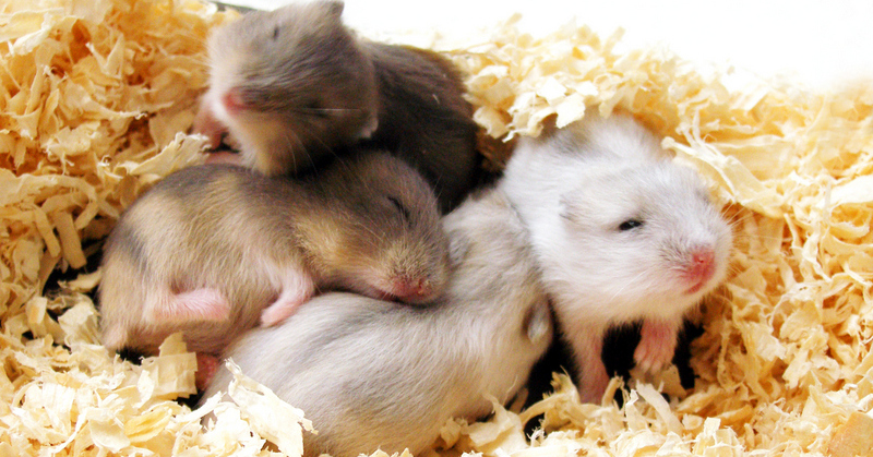 Zig and Zag are Russian Dwarf Hamsters