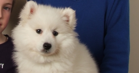 Alfie is an eight week old Japanese Spitz puppy