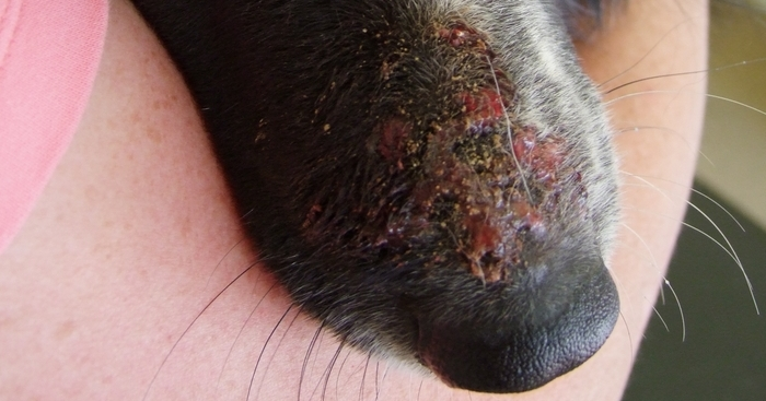 A Collie With A Rash On Her Face