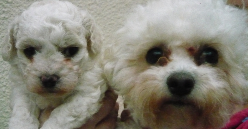 Cassie a 4 year old Bichon Frise and her pup Max