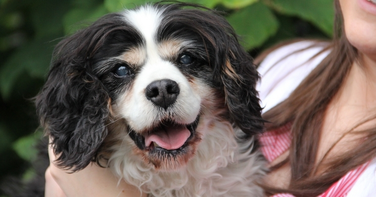 Josh a 15 year old Cavalier King Charles Spaniel who has liver cancer