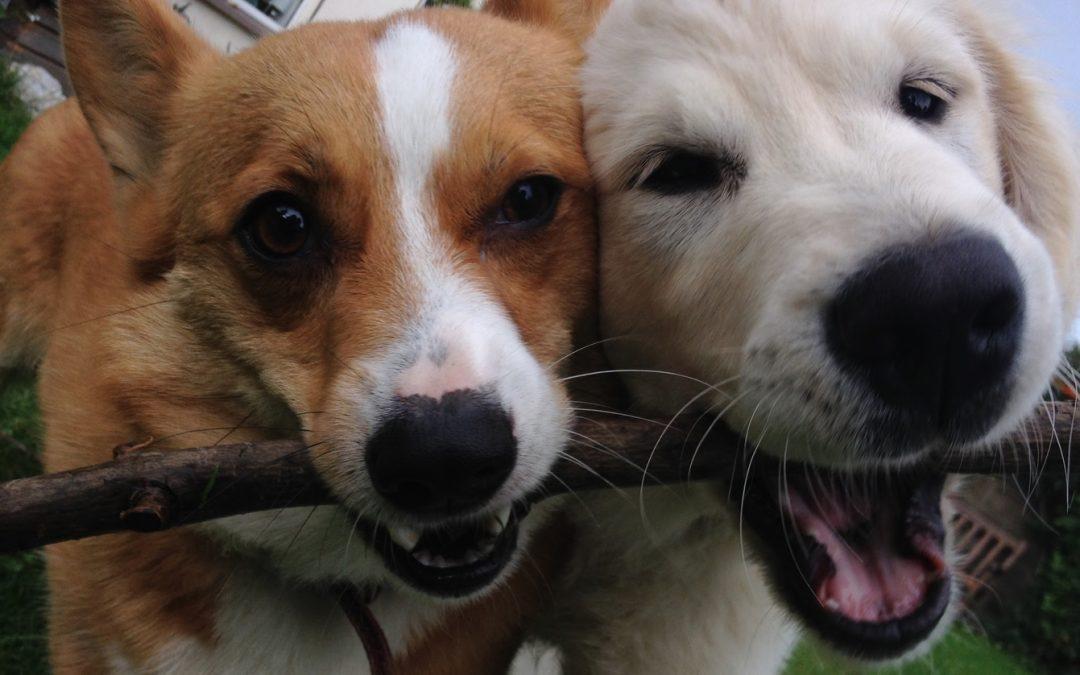Maisie the Golden Retriever puppy broke her tooth