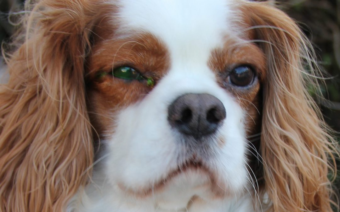 Archie is a six year old Cavalier King Charles Spaniel