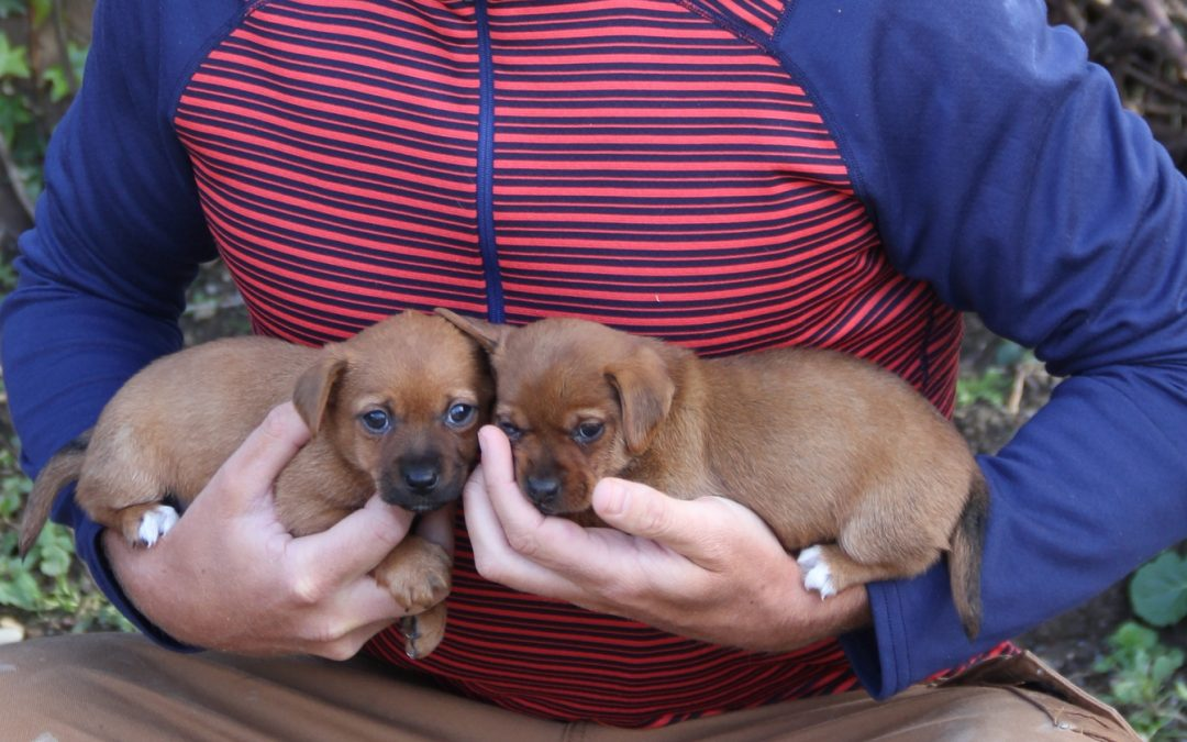 Rosie and Socks are Jack Russell Terrier puppies