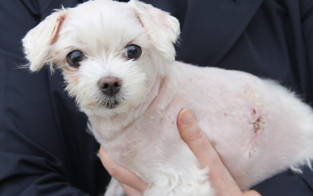 Mandy the 10 year old Maltese Terrier