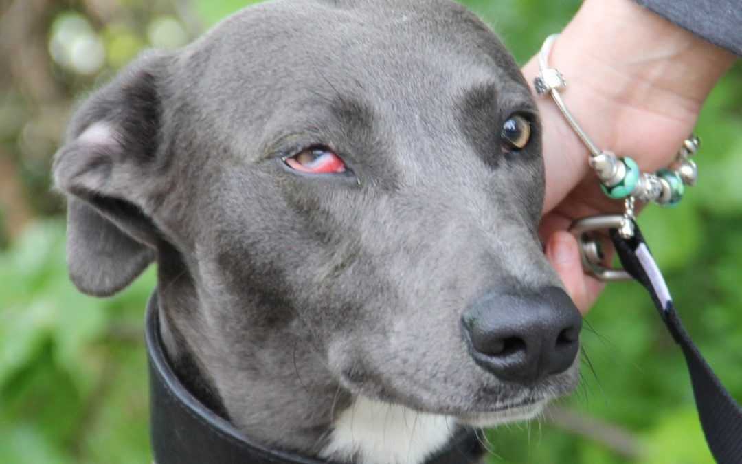 Buzz the lurcher developed a sore eye