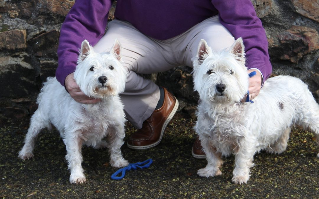 Mac and Tosh two West Highland White Terriers