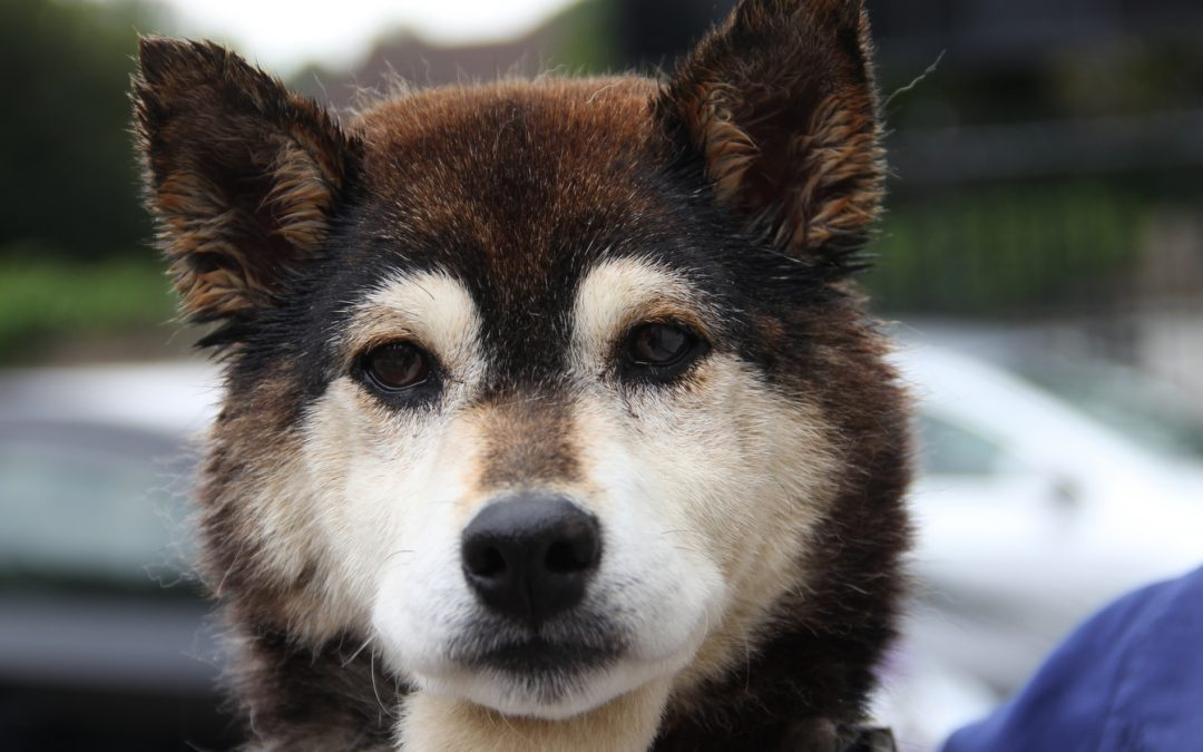 Tora is an 11 year old Shiba Inu