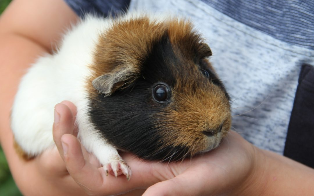 Troubles is a 4 year old Guinea Pig