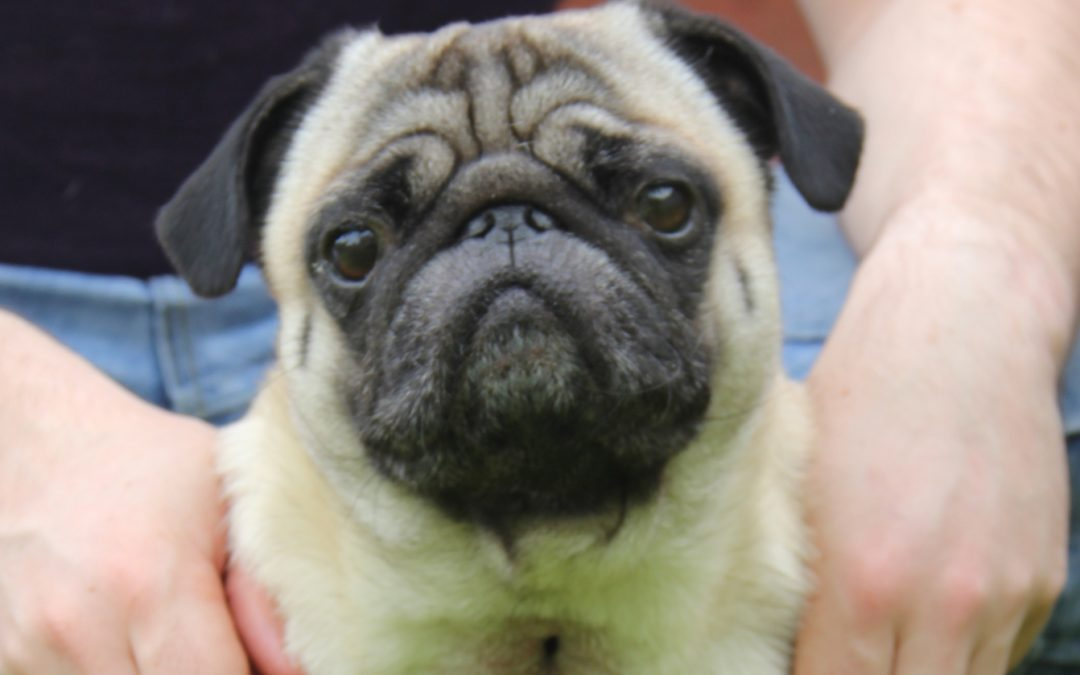 Peanut the pug needed a tracheostomy