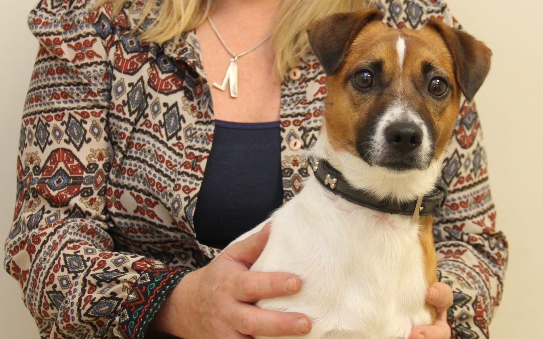 Pepsi the 2 year old Jack Russell Terrier